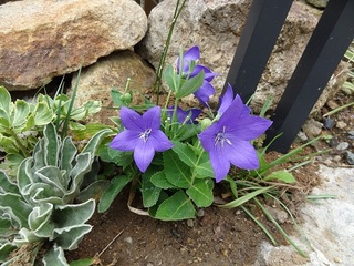 Chinese bellflower 20121003.jpg