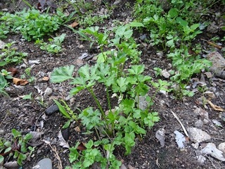 Italian parsley 20120618s.jpg